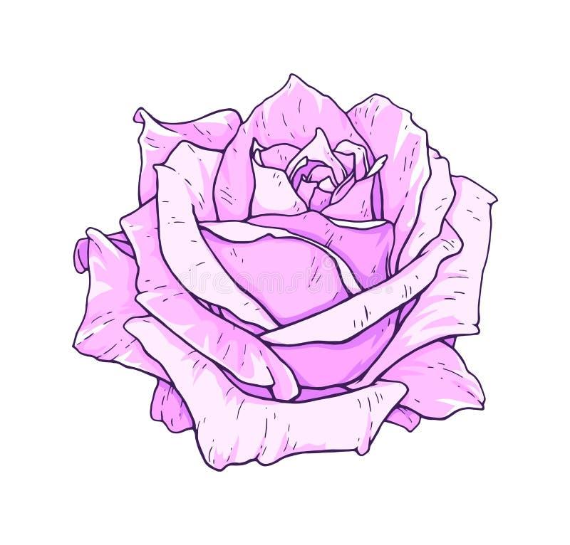 Rosarosenblumen lokalisiert auf weißem Hintergrund Vektorhandarbeitillustration Zeichnung der blühenden Rose lizenzfreie abbildung