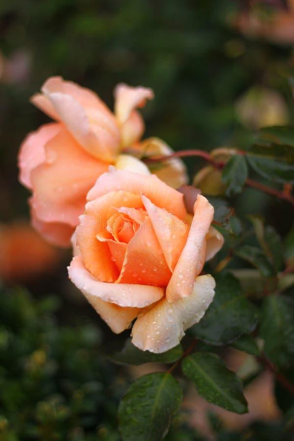 rosas imagens de stock royalty free