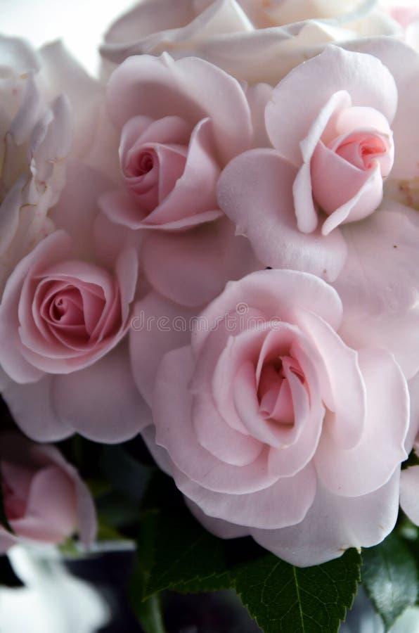 Rosas 2 imagens de stock royalty free