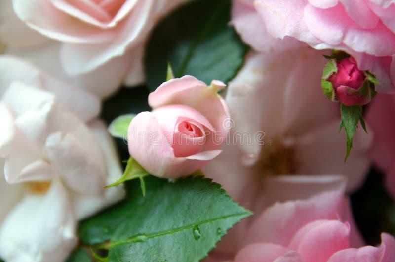 Rosas 3 fotos de stock