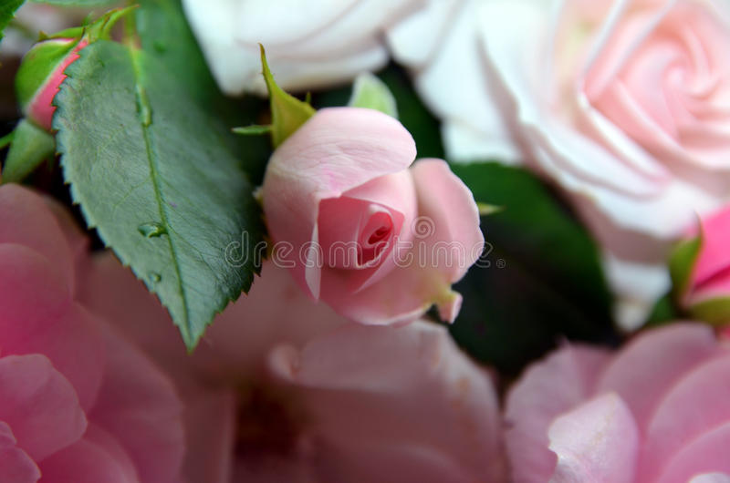 Rosas 4 fotografia de stock royalty free