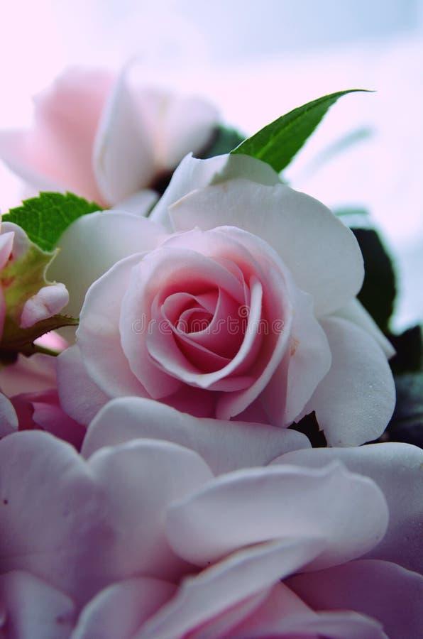 Rosas 5 fotos de stock royalty free