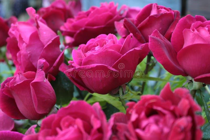 rosas foto de stock