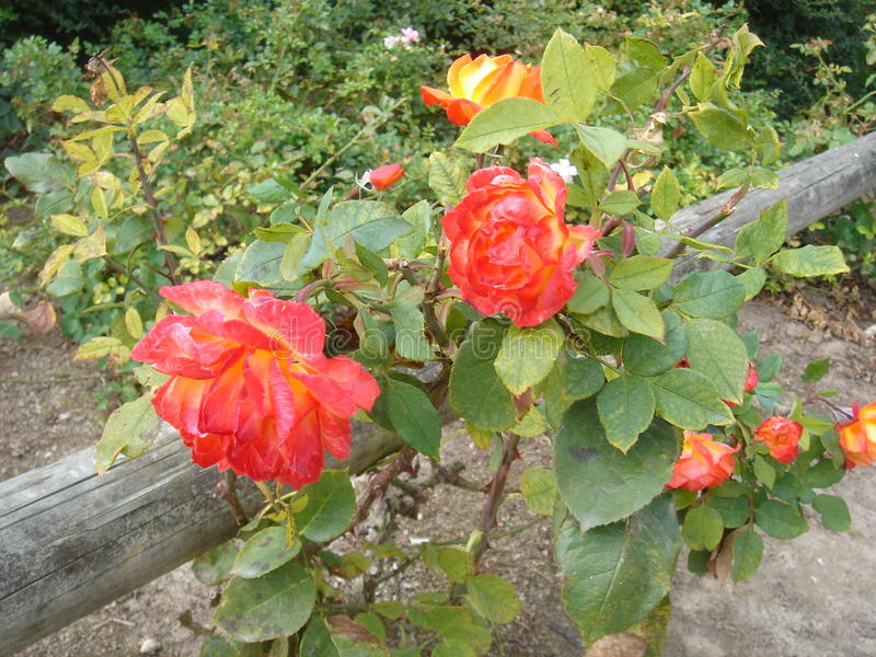 rosas fotografía de archivo