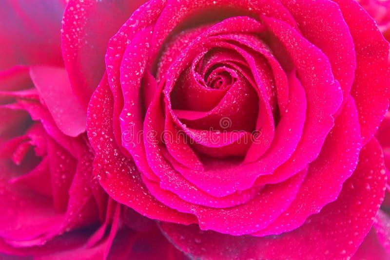 Rosas abertas vermelhas com gotas da água com vinheta clara imagem de stock royalty free