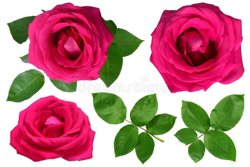 Rosas aisladas en el fondo blanco foto de archivo