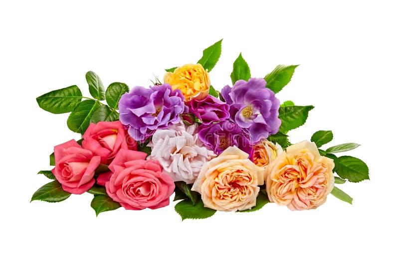 Rosas aisladas en el fondo blanco fotos de archivo