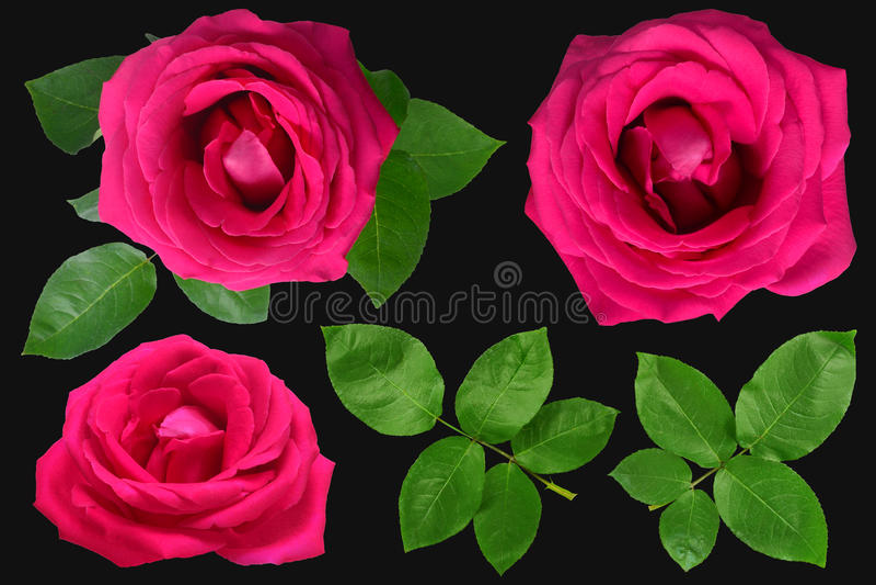 Rosas aisladas en fondo negro fotografía de archivo libre de regalías