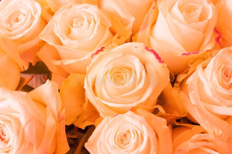 Rosas Alaranjadas Fotografia de Stock