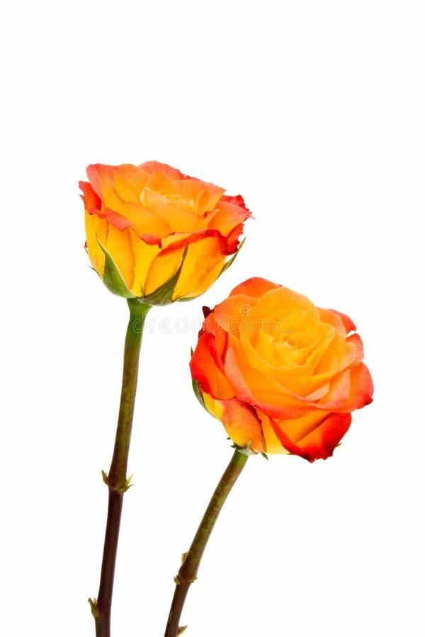 Rosas alaranjadas do batom do close up dois isoladas. fotografia de stock royalty free
