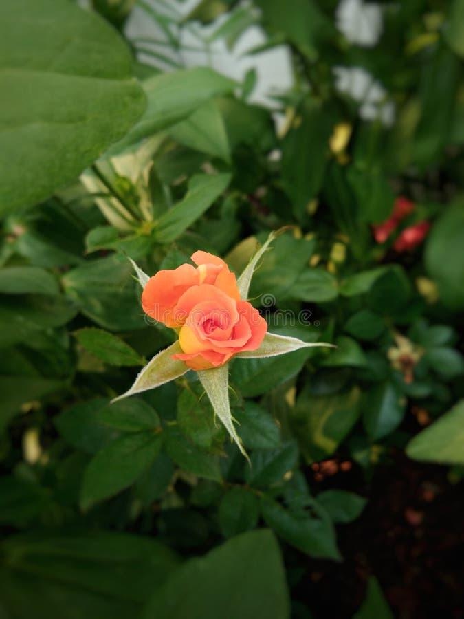 Rosas alaranjadas no jardim foto de stock