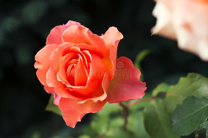 Rosas alaranjadas no jardim foto de stock royalty free