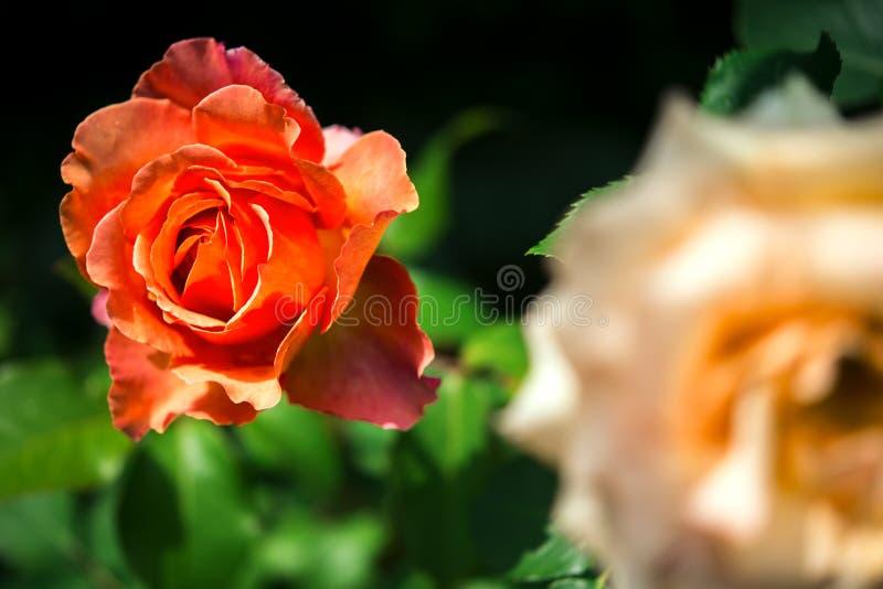 Rosas alaranjadas no jardim imagem de stock royalty free