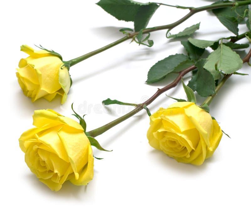Rosas amarelas com folhas verdes imagens de stock royalty free