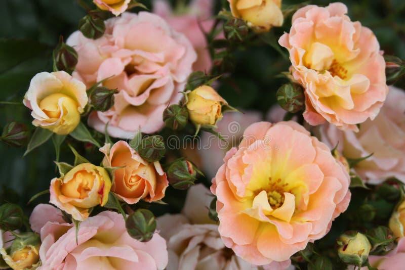 Rosas amarelas e cor-de-rosa 2019 imagens de stock