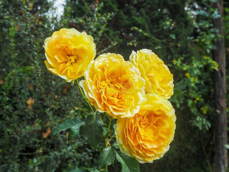 Rosas amarelas em um fundo verde das árvores fotografia de stock royalty free
