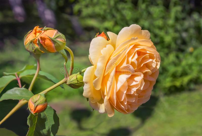 Rosas amarelas no jardim fotografia de stock royalty free