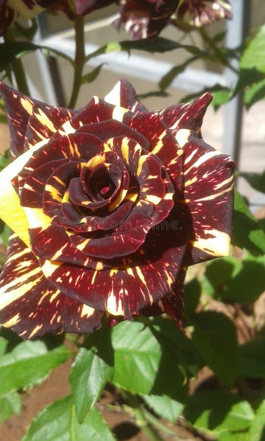 Rosas, amarelo e preto do tigre fotografia de stock royalty free