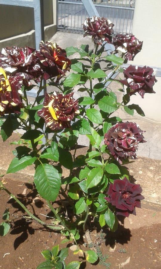 Rosas, amarelo e preto do tigre foto de stock
