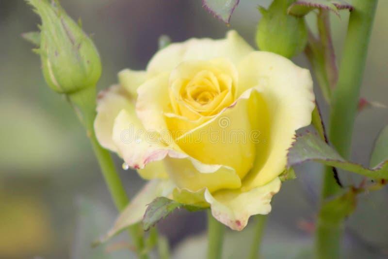 Rosas amarillas en un arbusto en un jardín imagenes de archivo