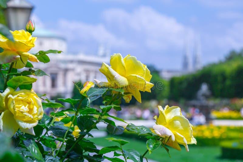 Rosas amarillas florecientes enormes en rosaleda Volksgarten( people' s park) en Viena, Austria fotografía de archivo libre de regalías