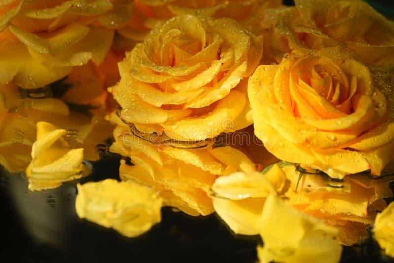 Rosas amarillas hermosas en gotitas del agua en un fondo oscuro del espejo Tarjeta de felicitación, salvapantallas foto de archivo libre de regalías