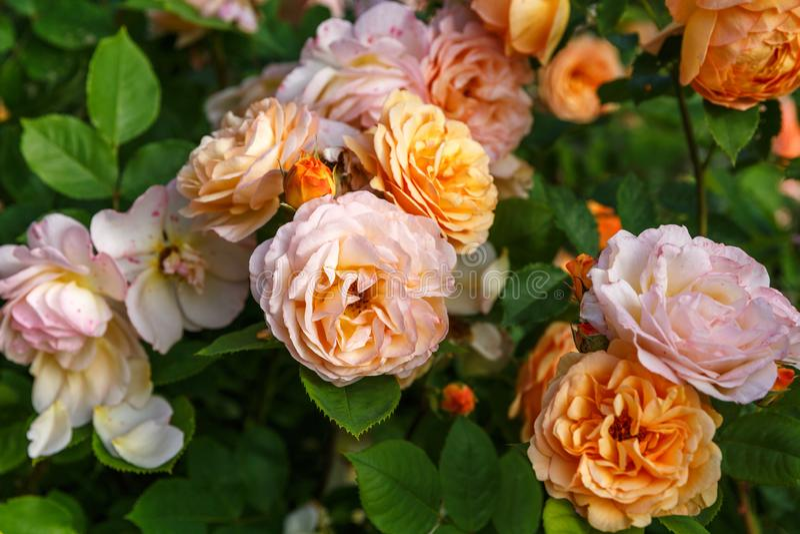 Rosas amarillo-naranja florecientes en el jard?n en un d?a soleado ` Rose de Charles Austin imagen de archivo libre de regalías