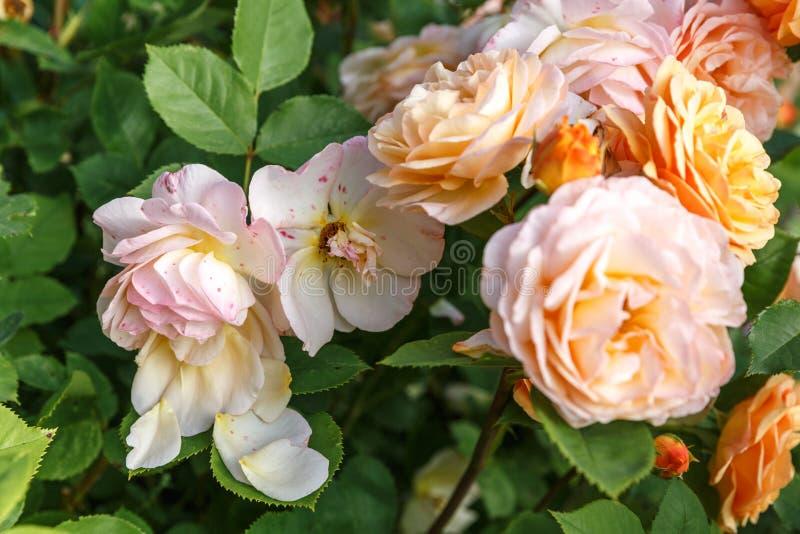 Rosas amarillo-naranja florecientes en el jard?n en un d?a soleado ` Rose de Charles Austin imagen de archivo