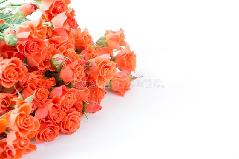 Rosas anaranjadas del verdadero arbusto suave como fondo neutral Foco selectivo Aislado foto de archivo libre de regalías