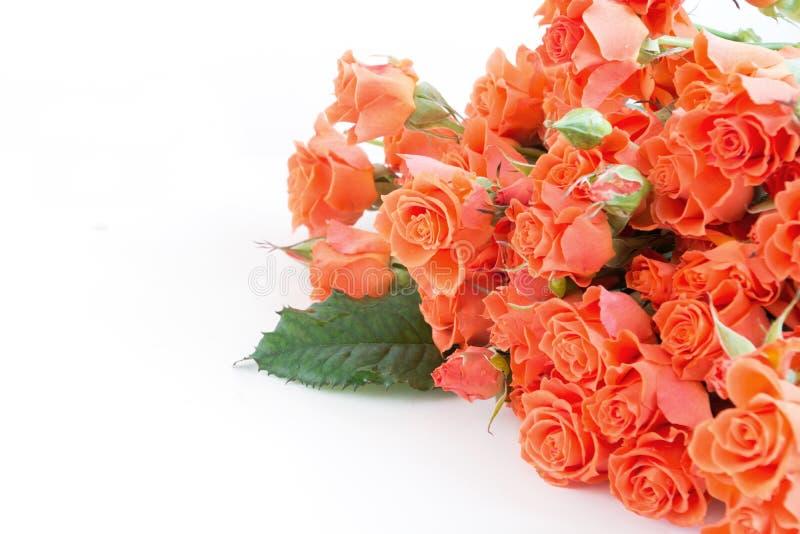 Rosas anaranjadas del verdadero arbusto suave como fondo neutral Foco selectivo Aislado fotografía de archivo