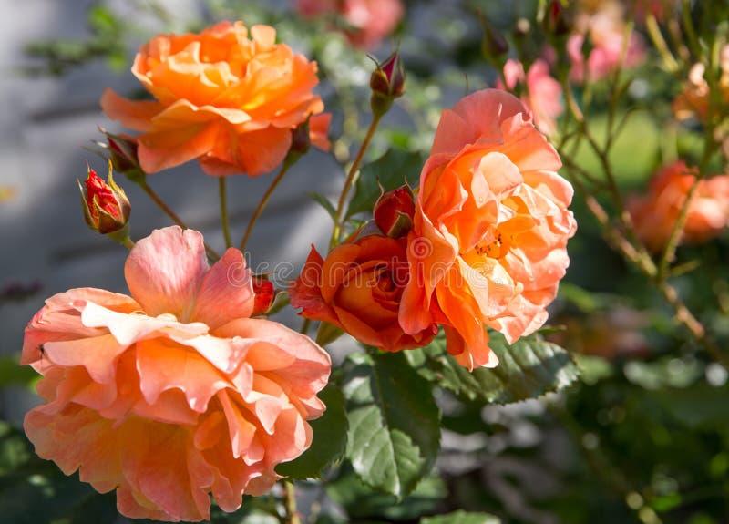 Rosas anaranjadas y rojas hermosas en un jardín imagen de archivo libre de regalías