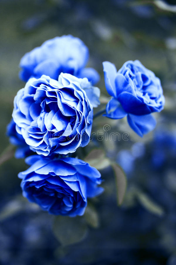 Rosas azuis que florescem no jardim fotos de stock royalty free