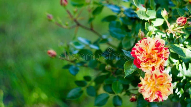 Rosas, bandeira longa da largura Fundo floral do verão ou da mola com a flor vermelha e alaranjada com espaço da cópia para o tex fotografia de stock