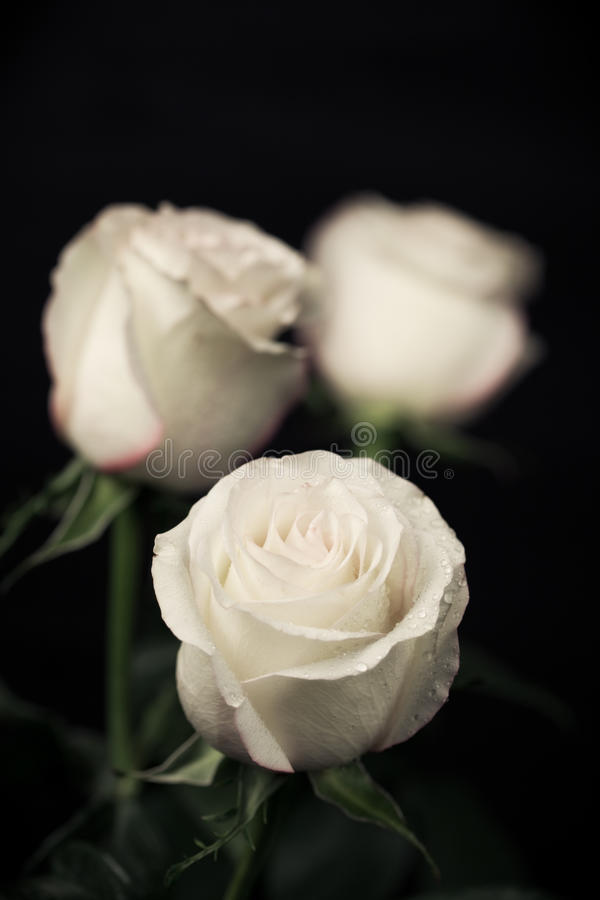 Rosas bege fotografia de stock royalty free