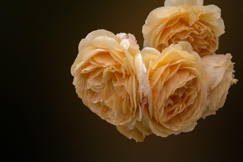 Rosas bege desenvolvidas macias como um fundo escuro fotos de stock royalty free