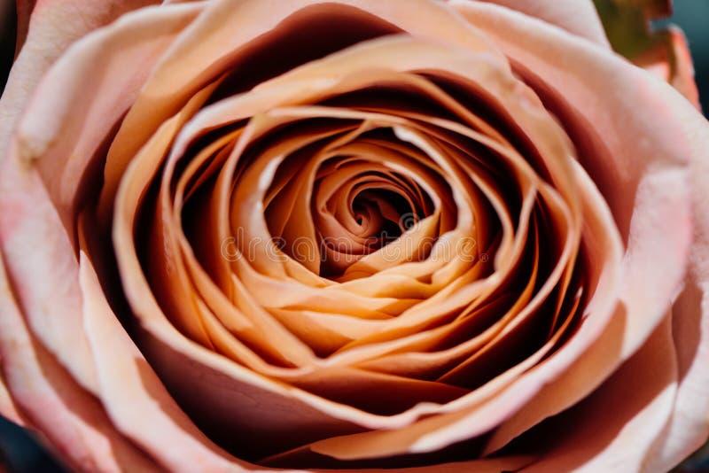 Rosas bege desenvolvidas macias como um fundo neutro Foco seletivo Teste padrão floral imagens de stock royalty free