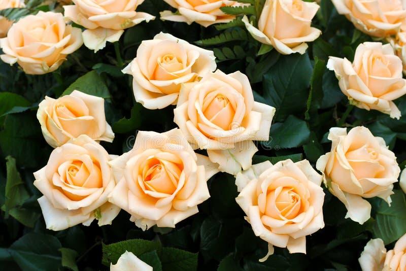 Rosas beige profundas fotos de archivo