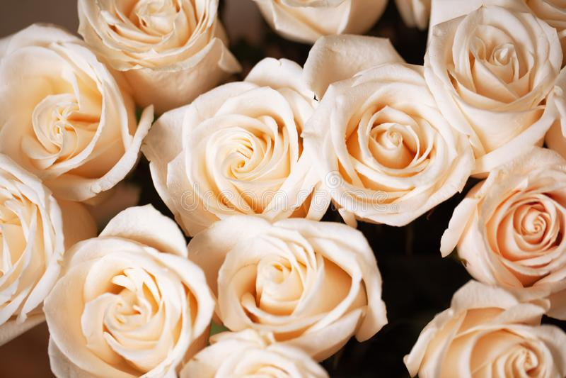 Rosas beige rosadas suaves con descensos de rocío Foco selectivo Primer horizontal Maqueta para la tarjeta de felicitación, medio imágenes de archivo libres de regalías