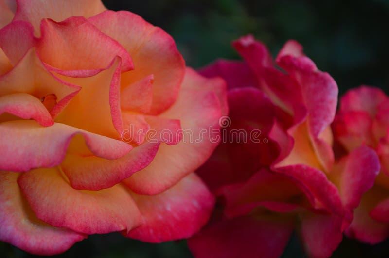 Rosas bicolores rosadas del melocotón imágenes de archivo libres de regalías