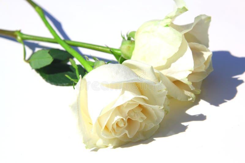 rosas blancas con las hojas y el tronco imagenes de archivo