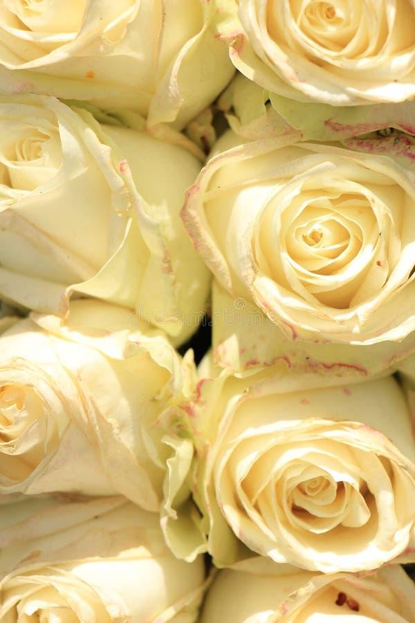 Rosas blancas de marfil fotos de archivo libres de regalías