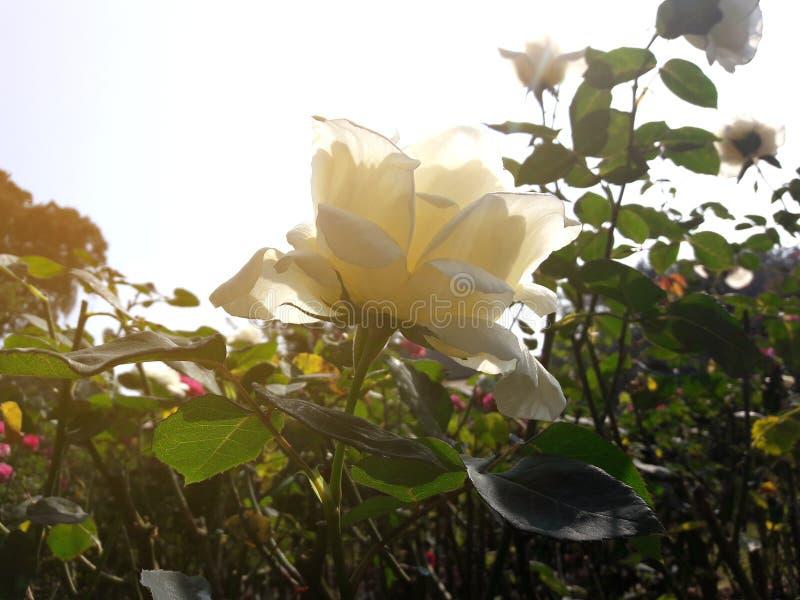 Rosas blancas del primer en jardín fotos de archivo libres de regalías