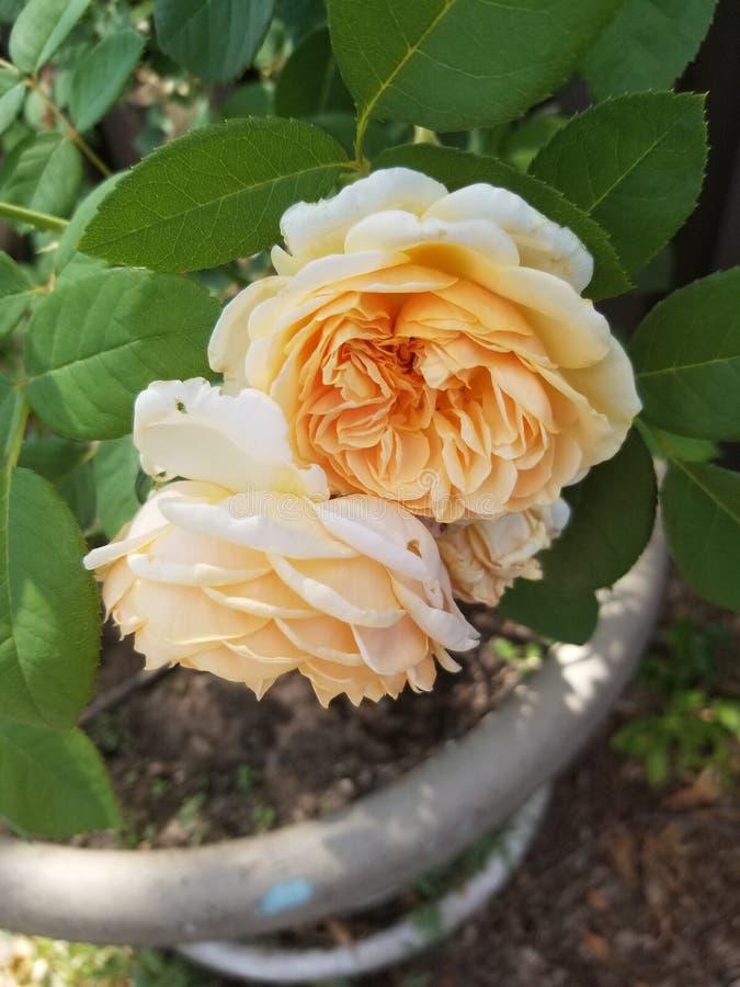 Rosas blancas dobles foto de archivo