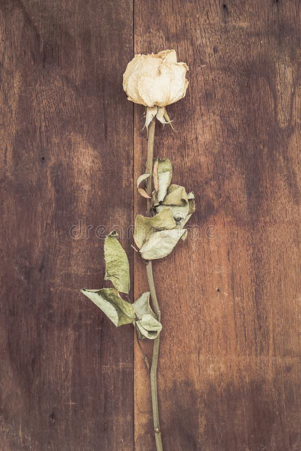 Rosas blancas secadas fotografía de archivo libre de regalías