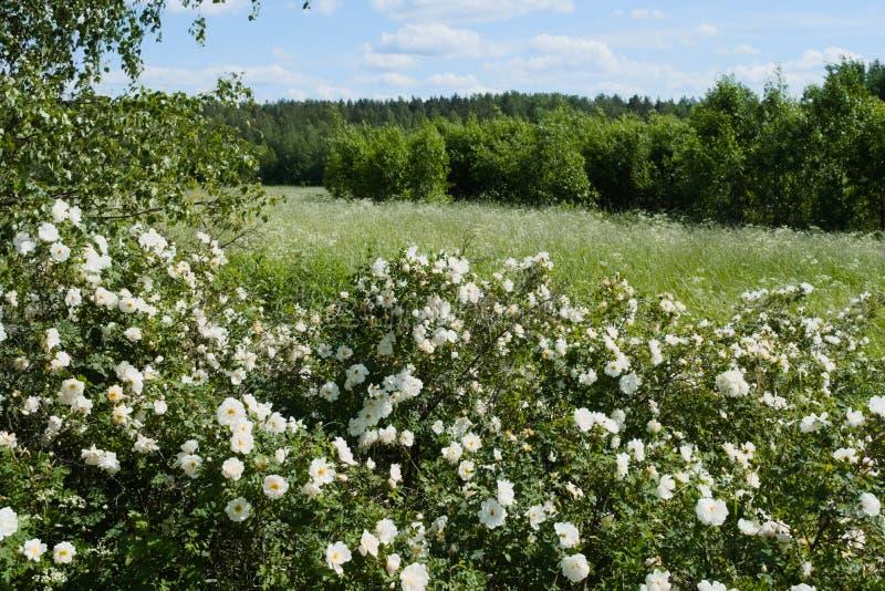 Rosas blancas y abedules salvajes fotografía de archivo