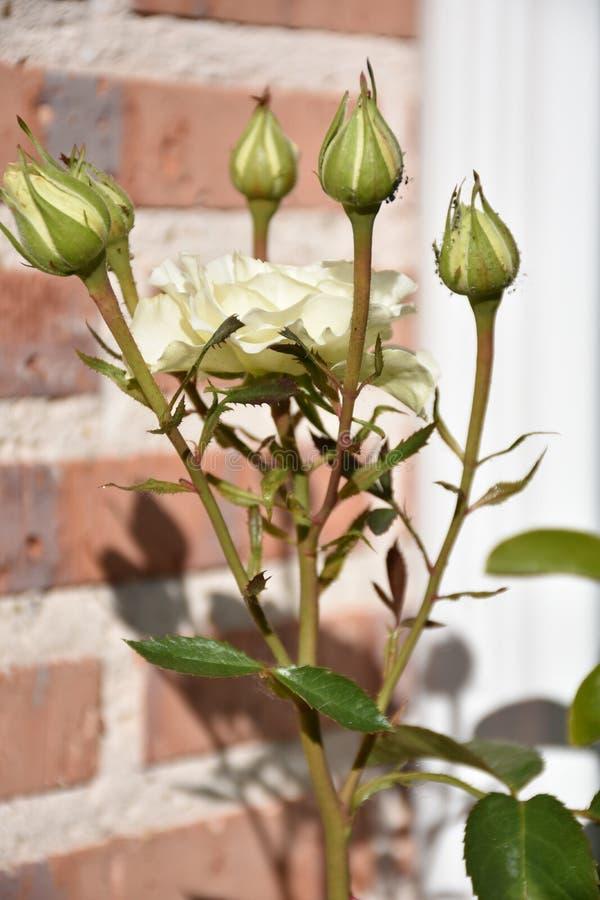 Rosas blancas y hojas fotos de archivo libres de regalías