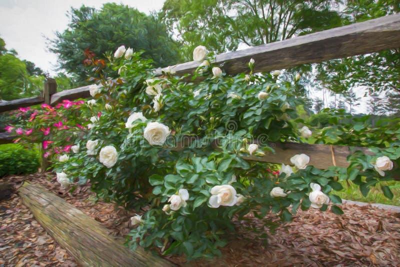 Rosas blancas y rosadas a lo largo de la cerca de madera fotos de archivo
