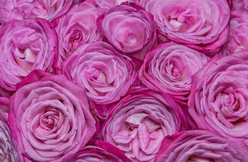 Download Rosas Blanco-rosadas imagen de archivo. Imagen de cariñoso - 44855929