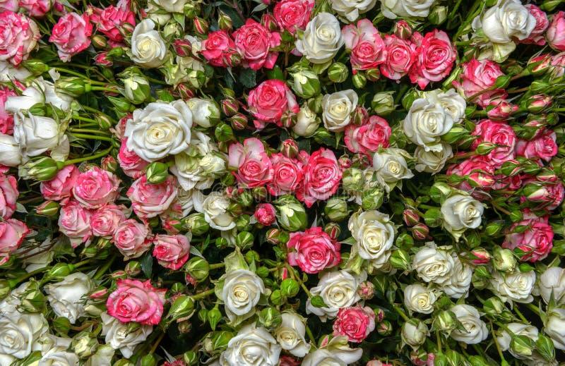 Download Rosas Blanco-rosadas foto de archivo. Imagen de brote - 44856164