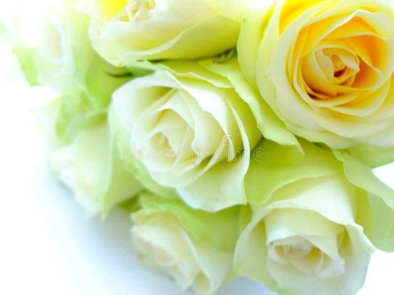 Rosas blanco-verdes delicadas en un fondo blanco imagen de archivo libre de regalías